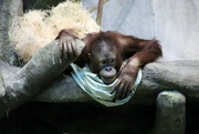 3rd Dec 2019 - Young Orangutan