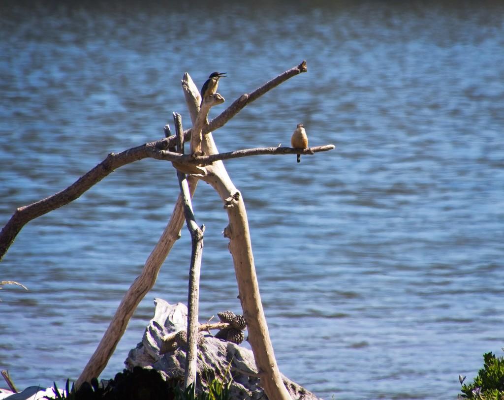 Kingfisher parents by kiwinanna