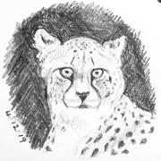 4th Dec 2019 - Cheetah