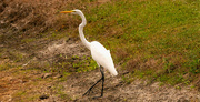 11th Dec 2019 - Egret Getting Away From Me!