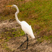 Egret Getting Away From Me!
