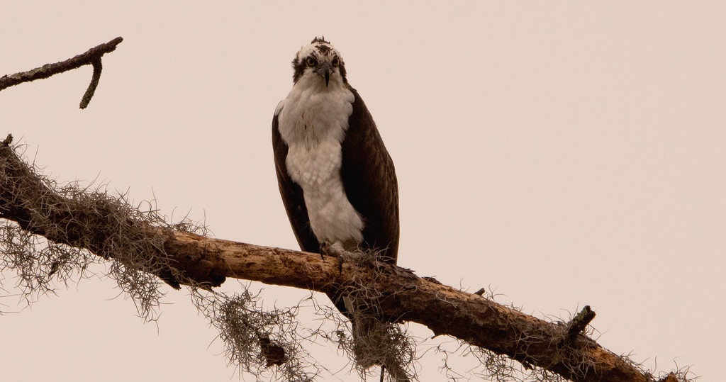 Osprey Scoping Out the Pond! by rickster549