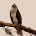 Osprey Scoping Out the Pond!