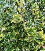 11th Dec 2019 - Now the Holly bears a Berry