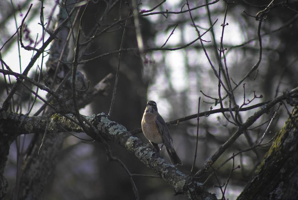 Robin in winter by mittens