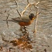 LHG_0647 Rockin Robin