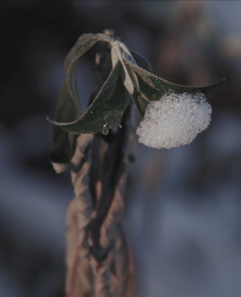Day 346:  Snow On The Butterfly Bush by sheilalorson