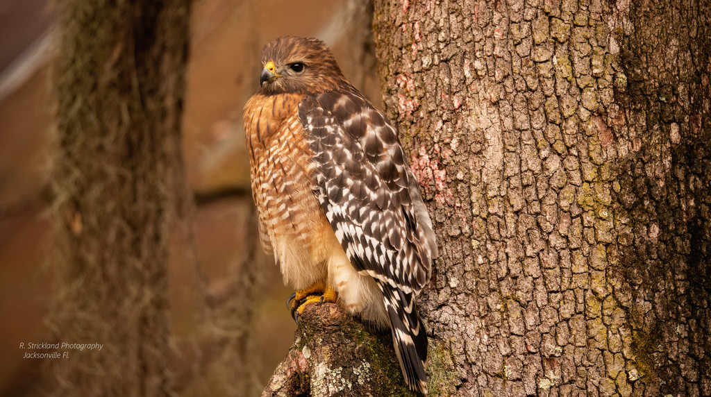 Red Shouldered Hawk Watching for Prey! by rickster549