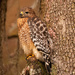 Red Shouldered Hawk Watching for Prey!