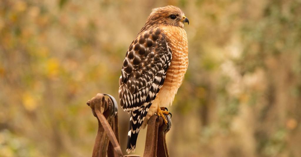 Red Shouldered Hawk Taking a Break! by rickster549
