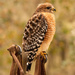 Red Shouldered Hawk Taking a Break!