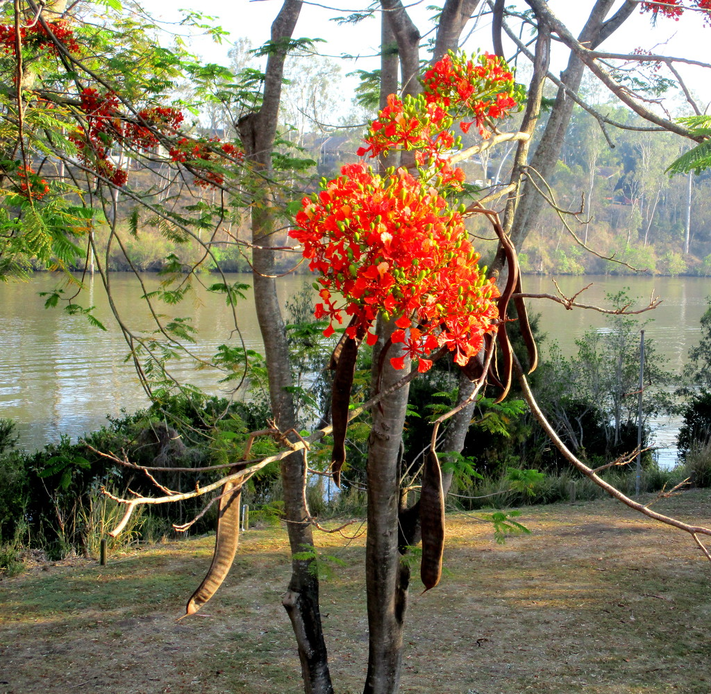 Flowering tree along the Brisbane River by 777margo