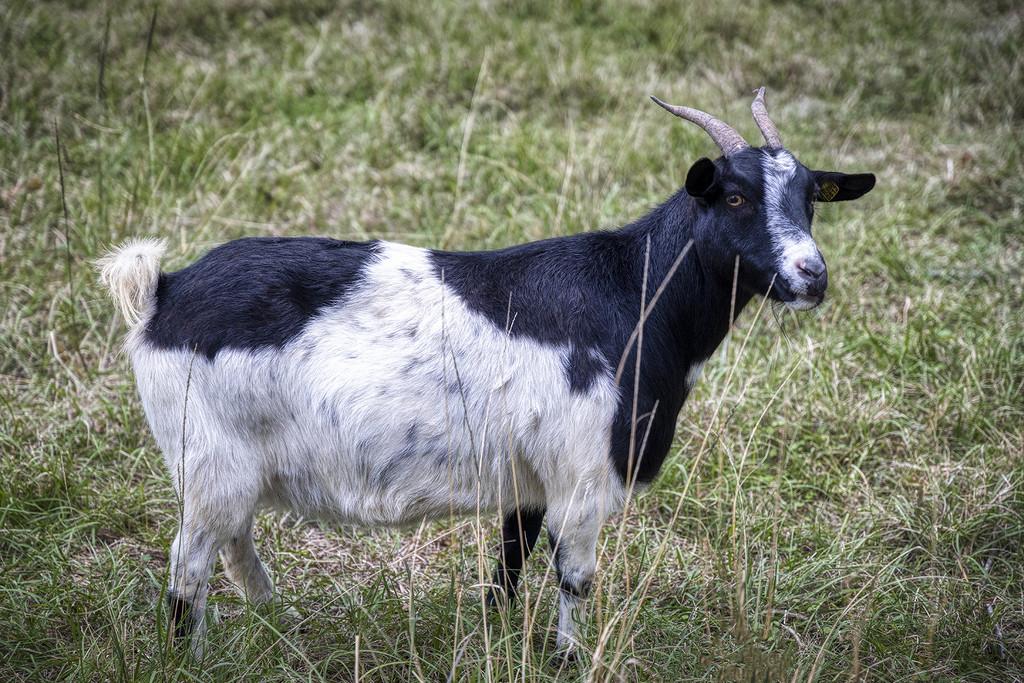 Classic Fainting Goat by kvphoto