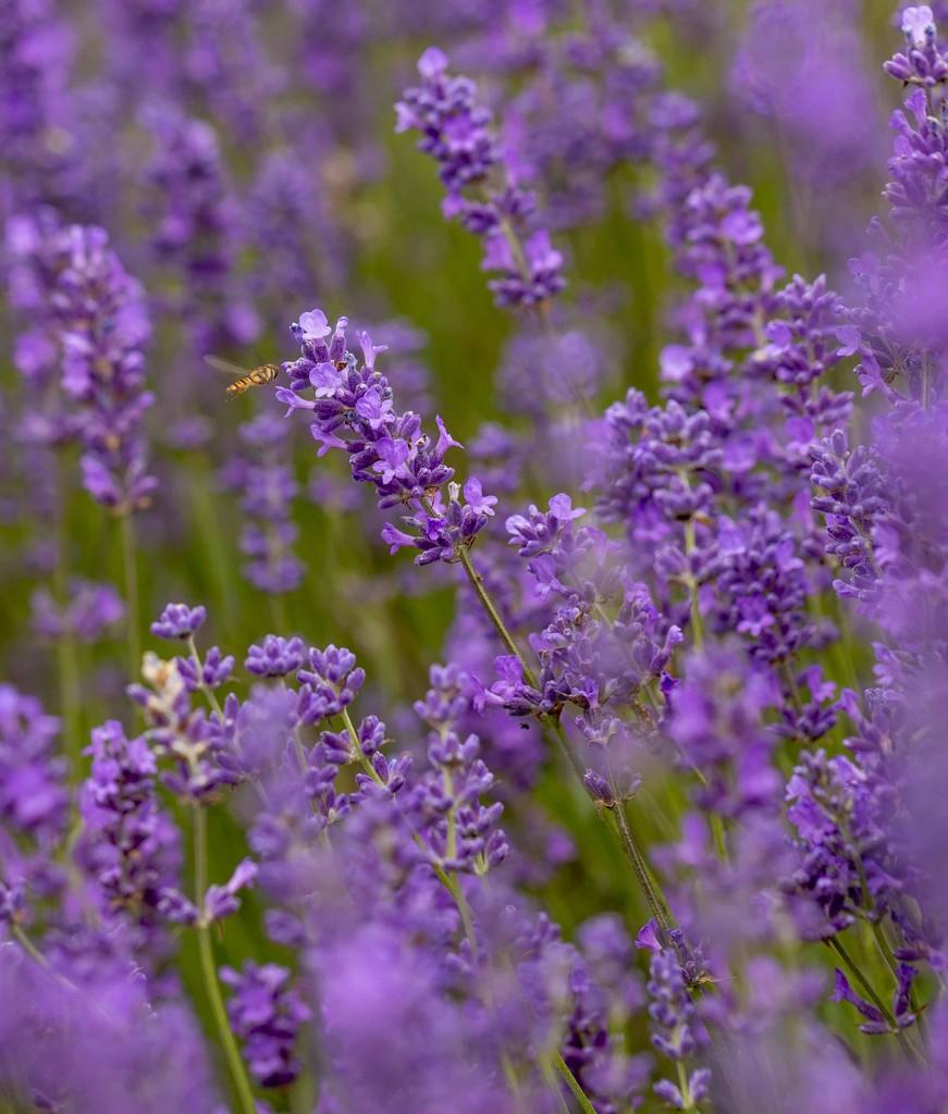lavendar  by shepherdmanswife