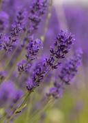13th Dec 2019 - lavender 2