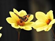 18th Sep 2019 - Tortoiseshell on Yellow Dahlia