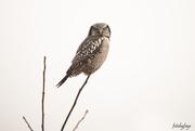 13th Dec 2019 - Northern Hawk Owl