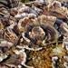 turkey-tail mushroom