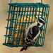 downy woodpecker square