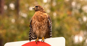 13th Dec 2019 - One More Red Shouldered Hawk!