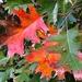 Shumard oak brilliant Autumn color