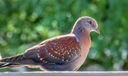 14th Dec 2019 - A Speckled Pigeon