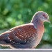 A Speckled Pigeon