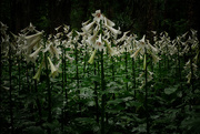 14th Dec 2019 - Mt Peel Himalayan lilies