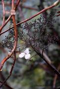 9th Dec 2019 - Hydrangea petiolaris