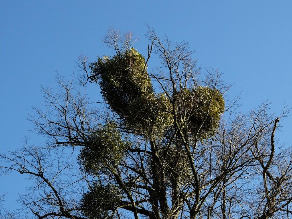 mistletoe growing in balls high up on a tree by quietpurplehaze