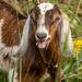 Goat by yorkshirekiwi