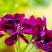 the original geranium photo