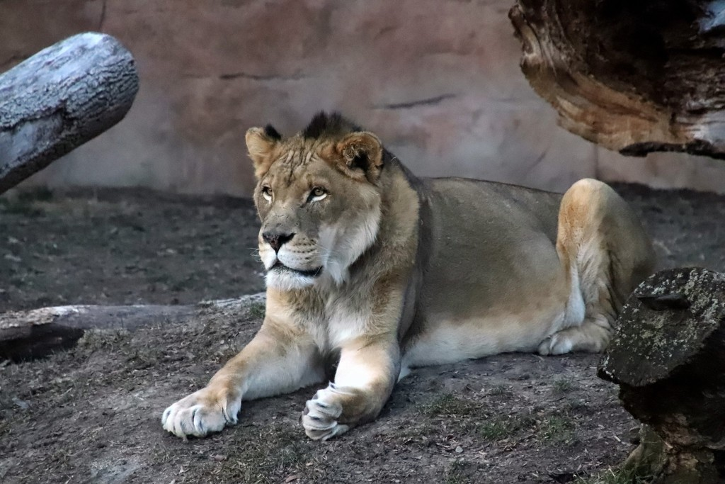 Zenda The King Of The Jungle by randy23