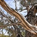 among the gum trees by pusspup