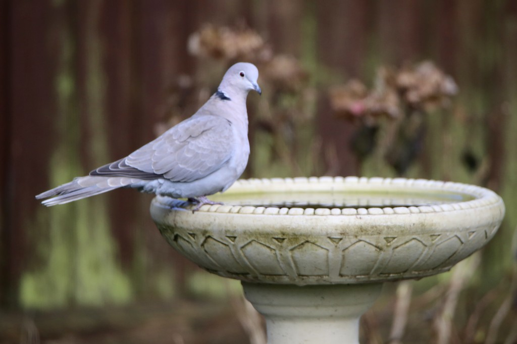 Ring Collared Dove by phil_sandford