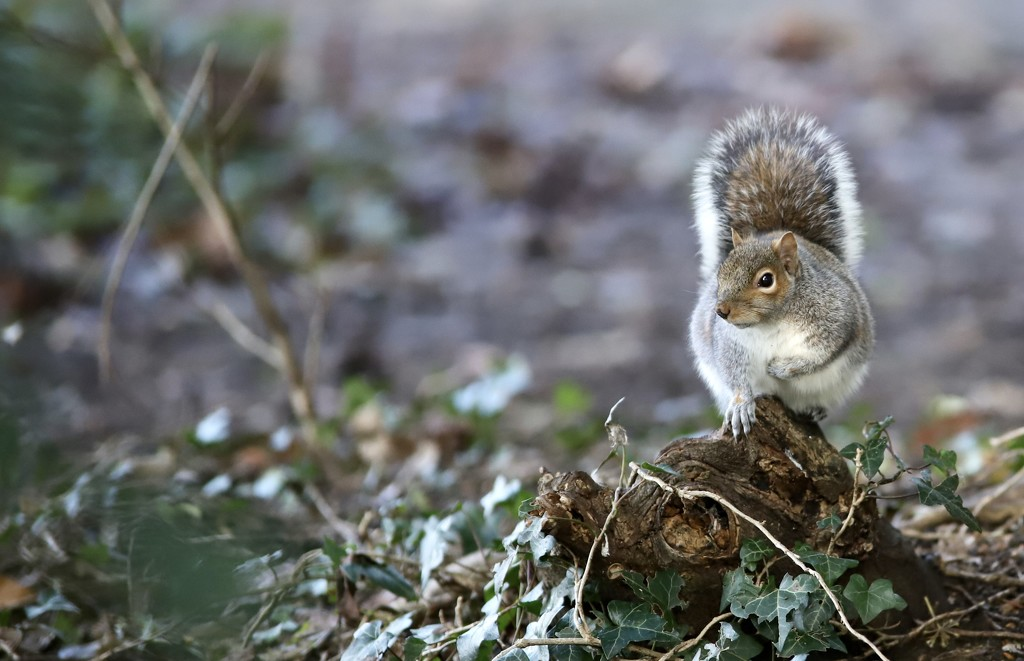 Hartsholme Tree Rat by phil_sandford