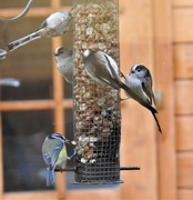 14th Dec 2019 -  Long Tailed Tits