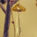 Golden toadstool