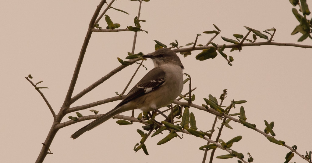 Mockingbird Keeping an Eye on Things! by rickster549