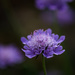 Scabiosa by maureenpp