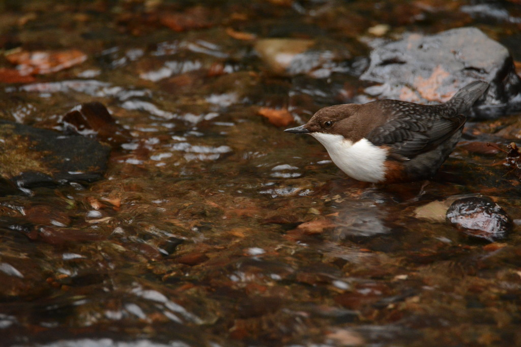 Dipper in the Dingle...... by ziggy77