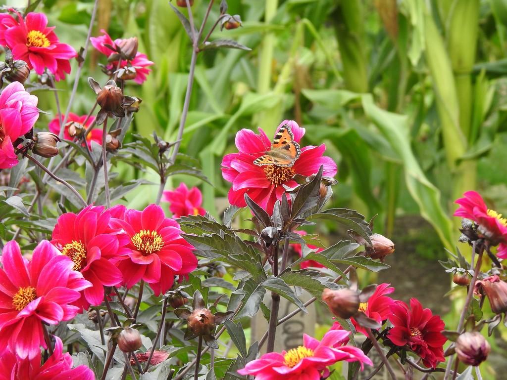 Tortoiseshell and Pink Dahlias by susiemc
