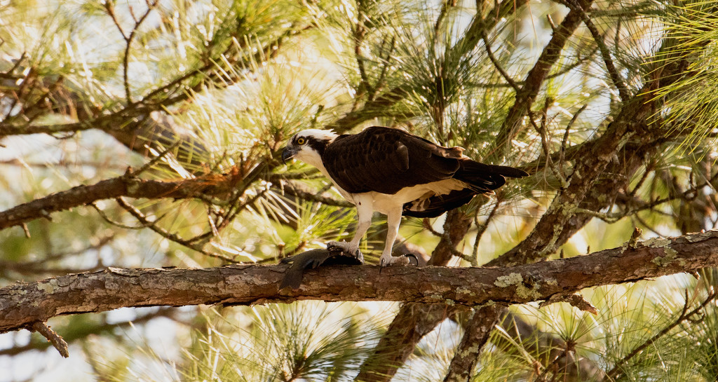 Osprey With It's Prey! by rickster549