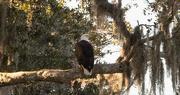 16th Dec 2019 - Bald Eagle, Just Chillin!
