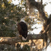Bald Eagle, Just Chillin! by rickster549