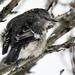 Mockingbird in Snow by kareenking