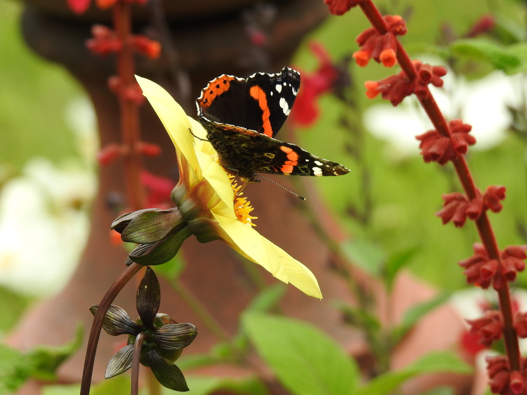 Red Admiral on a Yellow Dahlia  by susiemc