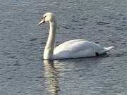 8th Sep 2019 -  Swan on the River Wye