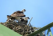 18th Dec 2019 - Sheltering Her Young From the Heat On Top of the Bridge