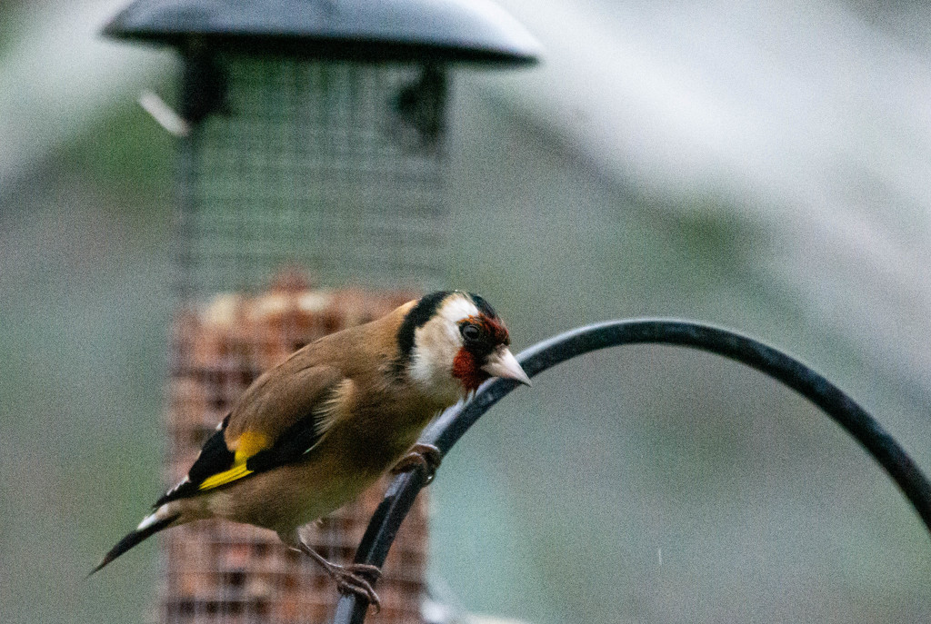 Goldfinch by stevejacob